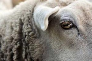 Маринованные глаза овец